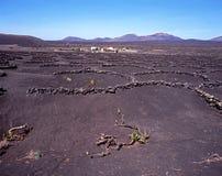 Vinrankor Lanzarote. royaltyfri foto