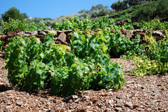 Vinrankor nära Torrox arkivfoto