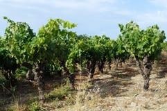 Vinrankor och gräs Fotografering för Bildbyråer