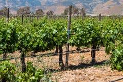 Vinrankor på en vingård i staden av Ensenada, Mexico royaltyfri fotografi