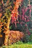 Vinrankor på ett träd, staket fotografering för bildbyråer