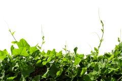 Vinrankor på poler Arkivfoton