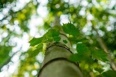 Vinrankor som kryper på en bambu Royaltyfria Bilder