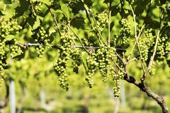 Vinrankor som växer i en vinodling i Maine Royaltyfri Bild