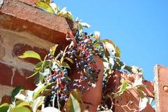 Vinrankor som växer på en tegelstenvägg royaltyfri fotografi