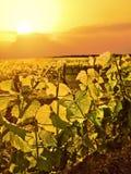 Vinrankor tände upp vid guld- ljus av solen i vingård arkivfoton