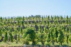 Vinrankor under en blå himmel arkivfoton
