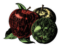 Vintage 1950s Apples. Vintage 1950s etched-style apples. Detailed black and white from authentic hand-drawn scratchboard includes full colorization stock illustration