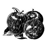 Vintage 1950s Apples. Vintage 1950s etched-style apples. Detailed black and white from authentic hand-drawn scratchboard royalty free illustration