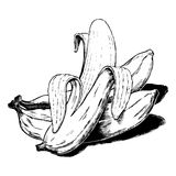 Vintage 1950s Bananas. Vintage 1950s etched-style bananas. Detailed black and white from authentic hand-drawn scratchboard royalty free illustration
