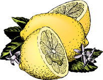 Vintage 1950s Lemons. Vintage 1950s etched-style lemons; detailed black and white from authentic hand-drawn scratchboard includes full colorization royalty free illustration