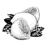 Vintage 1950s Lemons. Vintage 1950s etched-style lemons; detailed black and white from authentic hand-drawn scratchboard vector illustration