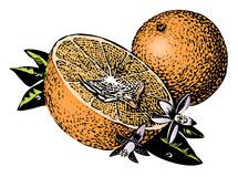 Vintage 1950s Oranges. Vintage 1950s etched-style oranges; detailed black and white from authentic hand-drawn scratchboard includes full colorization royalty free illustration