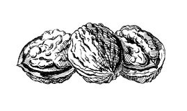 Vintage 1950s Walnuts. Vintage 1950s etched-style walnuts. Detailed black and white from authentic hand-drawn scratchboard vector illustration
