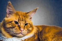 Vintage alaranjado vermelho do retrato do gato do racum de Maine Imagens de Stock Royalty Free