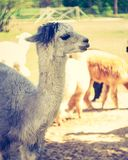 Vintage alpaca portrait Stock Photo