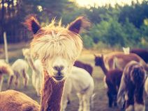 Vintage alpaca portrait Royalty Free Stock Image