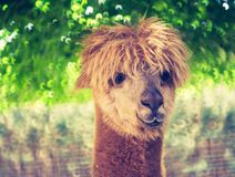Vintage alpaca portrait Stock Image