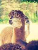 Vintage alpaca portrait Stock Photos