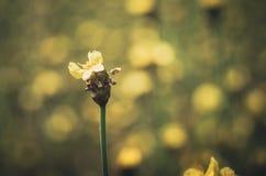 Vintage amarelo das flores do Xyris Fotos de Stock