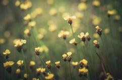 Vintage amarelo das flores do Xyris Imagem de Stock Royalty Free