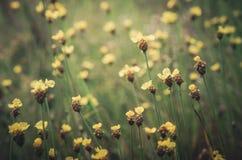 Vintage amarelo das flores do Xyris Fotografia de Stock