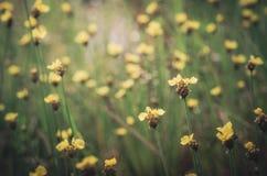 Vintage amarelo das flores do Xyris Fotos de Stock Royalty Free