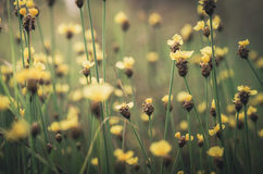 Vintage amarelo das flores do Xyris Fotografia de Stock Royalty Free