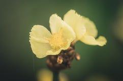 Vintage amarelo das flores do Xyris Imagem de Stock