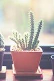 Vintage antique coloré par cactus mis en pot vieux Images libres de droits