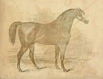 Vintage Arabian Horse Print Royalty Free Stock Image