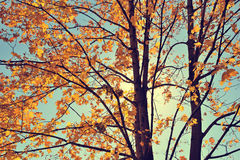 Vintage autumn maple. In sunny day Royalty Free Stock Images