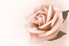Vintage background with beautiful pink rose. Royalty Free Stock Image