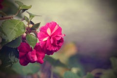 Vintage background with Begonia. Royalty Free Stock Photo