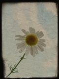 Vintage background with camomile Royalty Free Stock Images