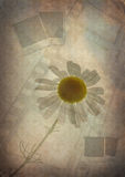 Vintage background with camomile 3 Stock Photography