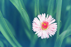 Vintage background with a delicate flower daisy. Royalty Free Stock Images