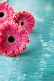 Vintage background from gerbera daisy flowers on wooden turquoise background for Mother or Woman day. Royalty Free Stock Photos