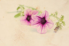 Vintage background with surfinia flowers Royalty Free Stock Images