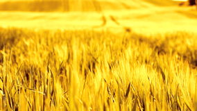 Vintage barley field. Vintage golden barley field moving in the wind stock footage