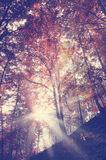 Vintage beauty forest with sunrays Royalty Free Stock Photo