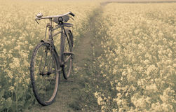 Vintage Bicycle in a rural mustard field Stock Image