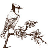 Vintage bird sketch isolated on white. Vector illustration with hand draw bird on blooming tree twig Royalty Free Stock Photography