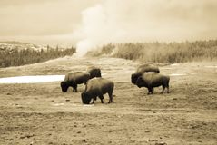 Vintage bison grazing next to Old Faithful Geyser, Yellowstone N. Vintage sepia bison or American buffalo grazing next to steaming Old Faithful Geyser in royalty free stock image