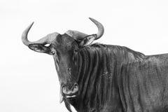 Vintage blanco negro animal del ñu de la fauna Imagen de archivo