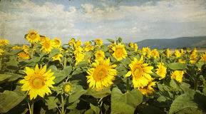 Vintage  blooming sunflower field Stock Images