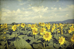 Vintage  blooming sunflower field Royalty Free Stock Photography