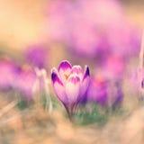 Vintage blooming violet crocuses Stock Photos