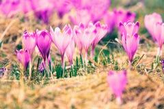 Vintage blooming violet crocuses Royalty Free Stock Photos