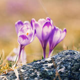 Vintage blooming violet crocuses Stock Photo